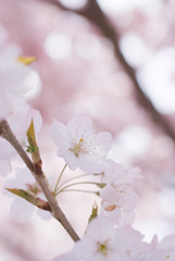 Cherry blossoms in full bloom - 満開の桜