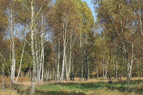 Birch grove in autumn - 253321545