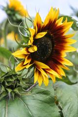 Beautiful large sunflower flower head in a sunflower field.