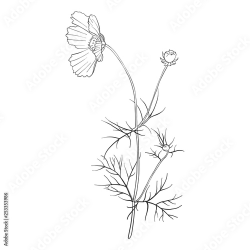 vector drawing flower of cosmos - 253353986
