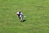 Dalmatian running joy