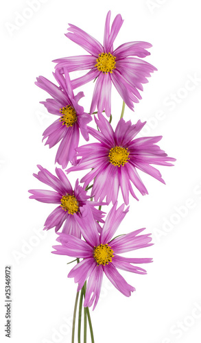 cosmos flowers isolated - 253469172
