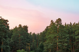 Fototapeta Na ścianę - Beautiful pink morning over pine forest © mizina