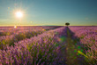 Lavender field with a single tree with sunshine and sun