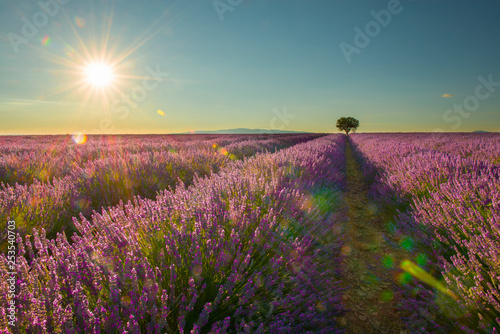 Lavender field with a single tree with sunshine and sun - 253540703