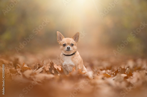 obraz lub plakat Chihuahua dog sittng in a autumn forest lane with sumbeams