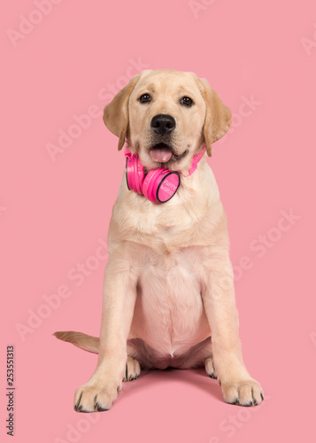 Cute sitting labrador retriever puppy looking at the camera wearing a headphone on a pink background - 253551313