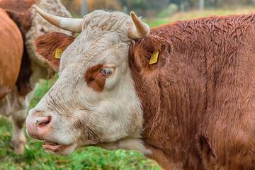 cow and beige on the pasture © jaroslavkettner