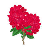 Twigs red flowers twig rhododendrons  mountain shrub on a white background vintage vector illustration editable hand draw