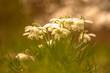 Leinwanddruck Bild - Märzenbecher in der Wiese