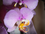 orchid on black background 2