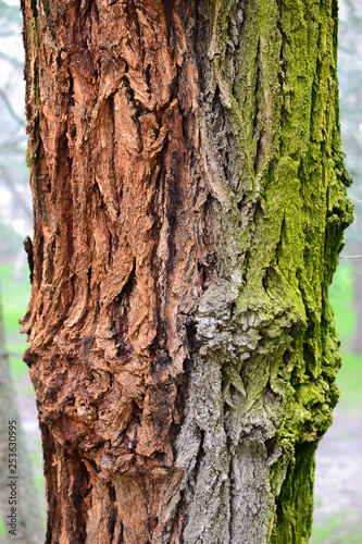Bark Tree Texture, Madrid, Spain - 253630995