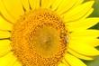 canvas print picture - ヒマワリとミツバチ