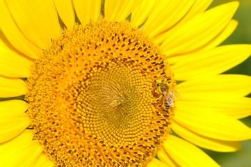 ヒマワリとミツバチ