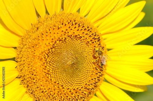 canvas print picture ヒマワリとミツバチ