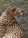 Fototapeta Sawanna - gepard © Henryk Olszewski