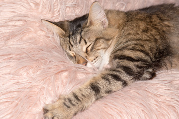 striped tabby cat sleeping on pink fluffy pillow
