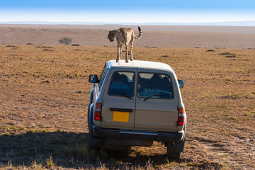 Kenya. Cheetah on the roof of a safari car. Travel to Africa. Kenya Animals. Safari Park. Savannah in the morning. Wild animals on the African prairie. Exotic animals.