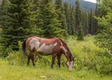 Fototapeta Konie - Wild Horses in Wild Montana © Vo