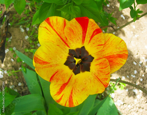 A little yellow, red tulip - 253647384