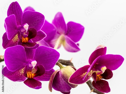 Orchid Up Close on White Background