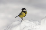 Fototapeta Zwierzęta - tit on snow in winter © Maslov Dmitry