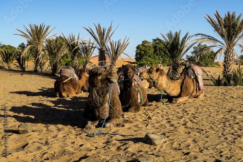 camel in desert, photo as background