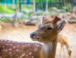 side head close up deer  have small horn brown fur and beautiful back eyes with blur background