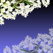 Beautiful floral background of Jasmine. Isolated