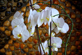 Blooming Orchid. seashells background on the wall. Macro.