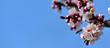 Leinwanddruck Bild - Honey Bee pollinate aprict blossom over blue sky background slow motion 1080 video