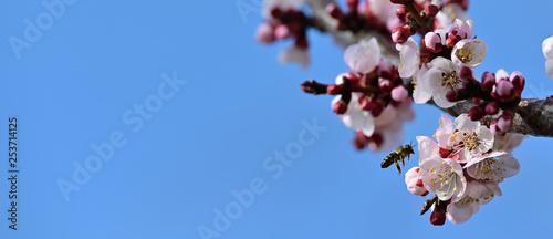 Leinwanddruck Bild Honey Bee pollinate aprict blossom over blue sky background slow motion 1080 video