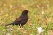 Common blackbird on meadow in backyard - 253743773