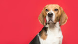 Portrait of a beagle looking at the camera on a red background in a panoramic imagel image
