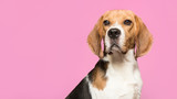 Portrait of a beagle looking at the camera on a red background in a horizontal image