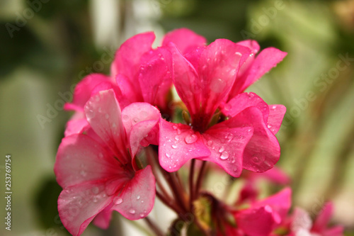 Pink flowers in the garden - 253769754