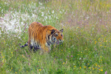 The Siberian tiger (Panthera tigris tigris),also called Amur tiger (Panthera tigris altaica) on a meadow. Yong female amur tiger sneaks after blooming meadow.