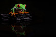 Red Eyed Tree Frog Reflection II