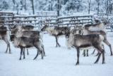 Reindeer herd, in winter, Lapland, Northern Finland