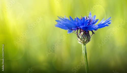 Macro of a blue cornflower isolated on green. - 253794762