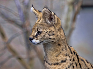 Portrait of Serval, Leptailurus serval, animal on guard