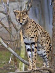 Serval, Leptailurus serval, carefully observes the surroundings