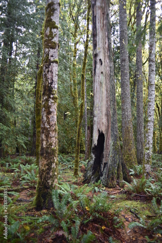 Washington, U.S.A. October 19, 2017. Olympic National Park Moments in Time Trail.  Peaceful footpath through moss-covered pine trees, ferns, stumps, and rich autumn colors alongside Lake Crescent.