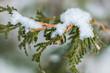 Cèdre en hiver