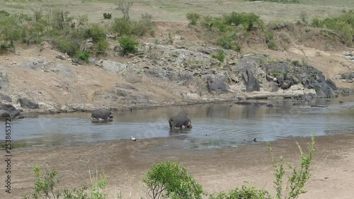 Pair of hippos on riverbed, Africa