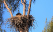 Bald eagle Haliaeetus leucocephalus feeds the eaglets in their nest of chicks on Marco Island