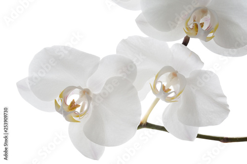 White orchid  flowers, isolated on white background
