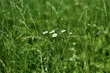 Grass with a chamomile