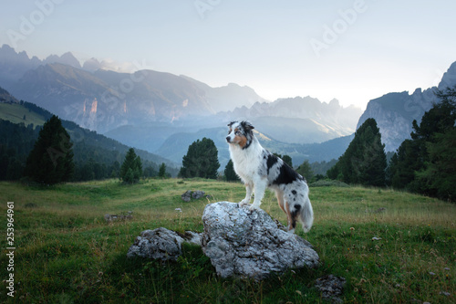 A dog in the mountains is standing on a rock and looking at nature. Travel with a pet. Happy Australian Shepherd. Healthy lifestyle, adventure © annaav