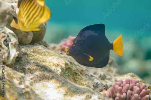 obraz PCV Blue sailfin tang